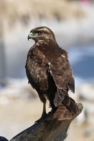 그리스 크레타섬 독수리