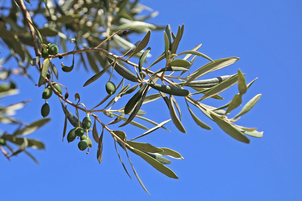부베스 올리브 나무의 열매