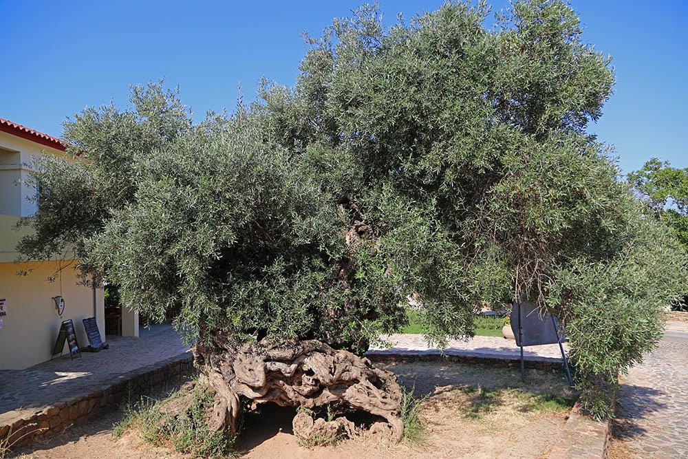 부베스 올리브 나무